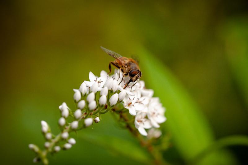 Gros plan sur une abeille